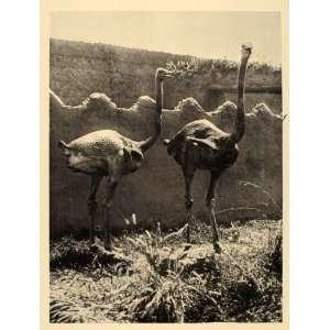 1930 Ostrich Borno State Nigeria Africa Photogravure