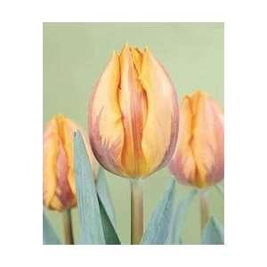 Tulip   Triumph   Princess Irene Fall Flower Bulb   Pack