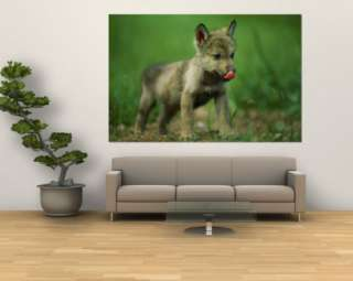 Gray Wolf Cub Licks His Nose Wall Mural by Joel Sartore at