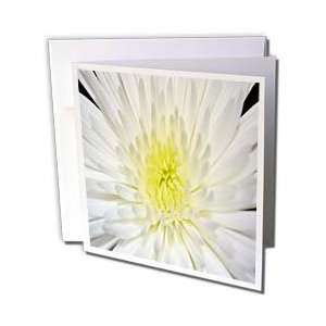 Spider Pom A Close up of a white flower   Greeting Cards 12 Greeting